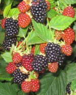 Cluster of Growing Blackberries