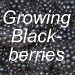 Growing Blackberries Link