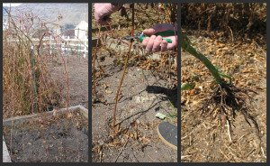 Creating New Blackberry Plants