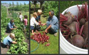 Harvesting, Cutting, & Washing Beets