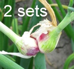 Egyptian Walking Onion 2 sets