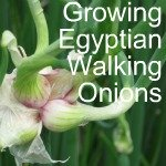 Egyptian Walking Onion
