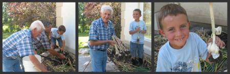 Growing Garlic - Harvesting Garlic