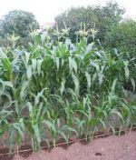 Growing Corn Two Weeks Apart