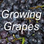 Growing Grapes Link