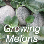 Growing Melons Link