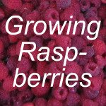 Growing Raspberries Link