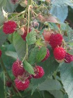Growing Raspberries