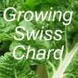 Growing Swiss Chard