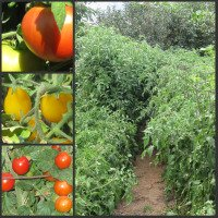 Growing Tomatoes