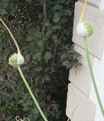 Growing Garlic Harvesting - Picture of scape