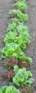 Growing Lettuce in Garden
