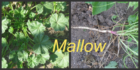 Garden Weeds - Mallow or Marshmallow