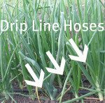 Growing Onions Drip System