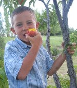 Child eating fresh peach in a tree