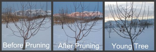 Pruning Apple Tree Pictures #1