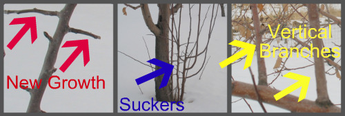Pruning Apple Trees Pictures 2