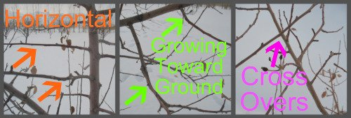 Pruning Apple Trees Pictures 3
