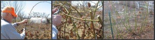 Steps to pruning blackberries