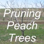 Pruning Peach Trees