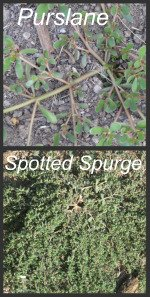 Garden Weeds - Purslane or Rubber Weed & Spotted Spurge