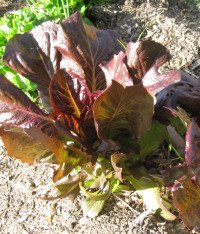 Growing Red Lettuce