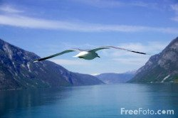 Seagull - FreeFoto.com