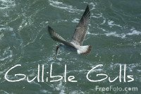 Self Reliance Gullible Gulls - FreeFoto.com