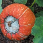 Mixed Winter Squash