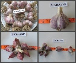 Ukraine Garlic Bulbs
