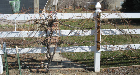 Before Pruning Grapes