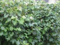 Growing Grapes Foliage