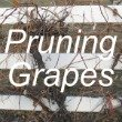 Pruning Grapes