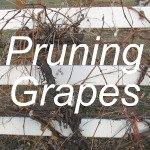 Pruning Grapes Link