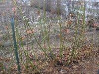 Trelissing Blackberry plants