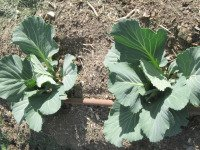 Immature cabbage